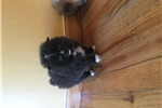Picture of Tiny Pomeranian male puppies