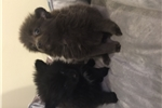 Picture of pomeranian puppies ~TINY~