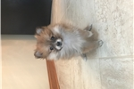 Picture of Pomeranian female puppies