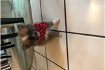Picture of TINY Pomeranian female puppy