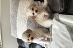 Picture of Poodle puppies