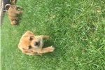 Picture of pug beagle mixed puppies ~puggles~