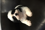 Picture of shihtzu ~BLUE EYES~