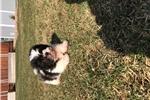 Picture of Shihtzu puppies