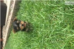 Picture of AKC  TINY yorkie  puppies
