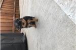 Picture of Yorkie Male puppies