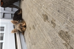 Picture of AKC  TINY female Yorkie puppy
