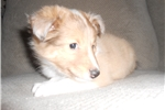 Picture of Simba-tiny male- Sable/white Merle
