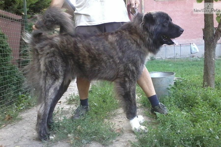 Caucasian Mountain Dog for sale for $790, near Budapest, Hungary