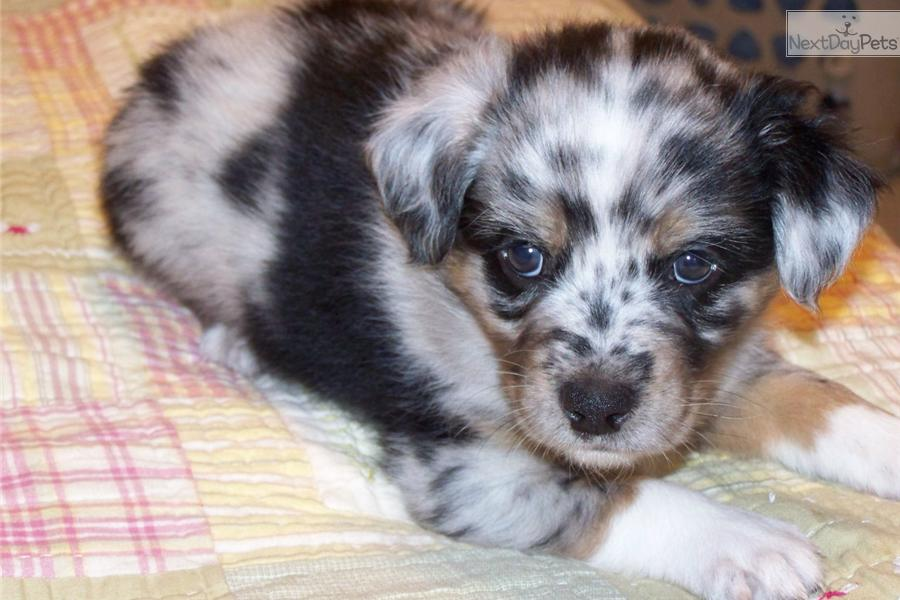Puppy Sold Australian Shepherd Puppy For Sale Near Raleigh