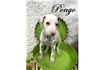 Picture of Pongo