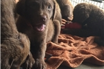 Picture of AKC Registered Chesapeake Bay Retriever Female Ch.
