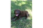 Picture of AKC Registered Chesapeake Bay Retriever Champion
