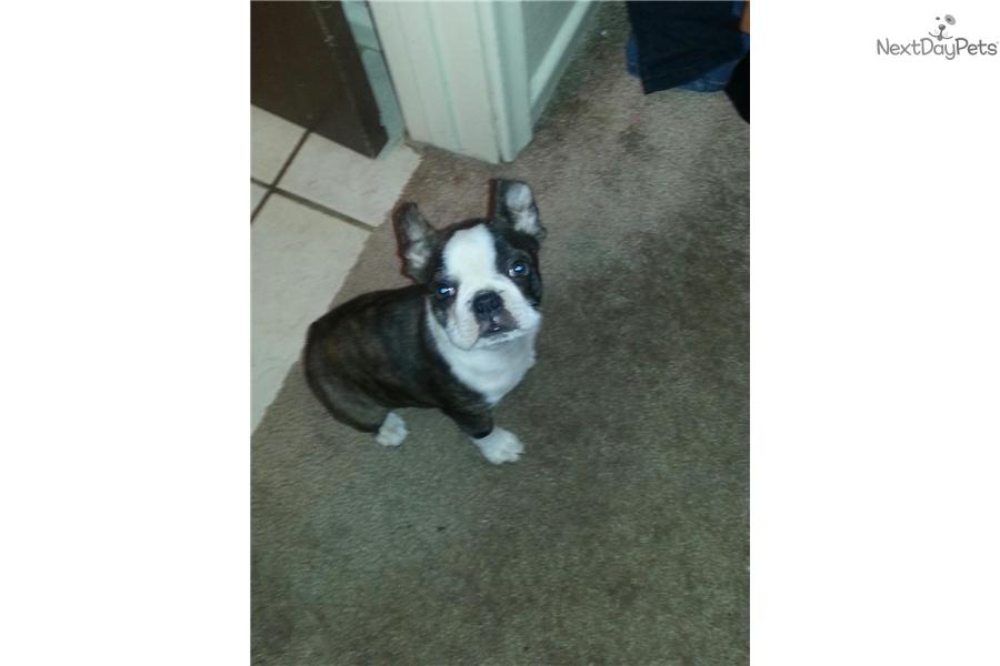 boston terrier puppies for sale az - 28 images - view ad ...
