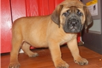 AKC Thor (Weekend Special) | Puppy at 8 weeks of age for sale