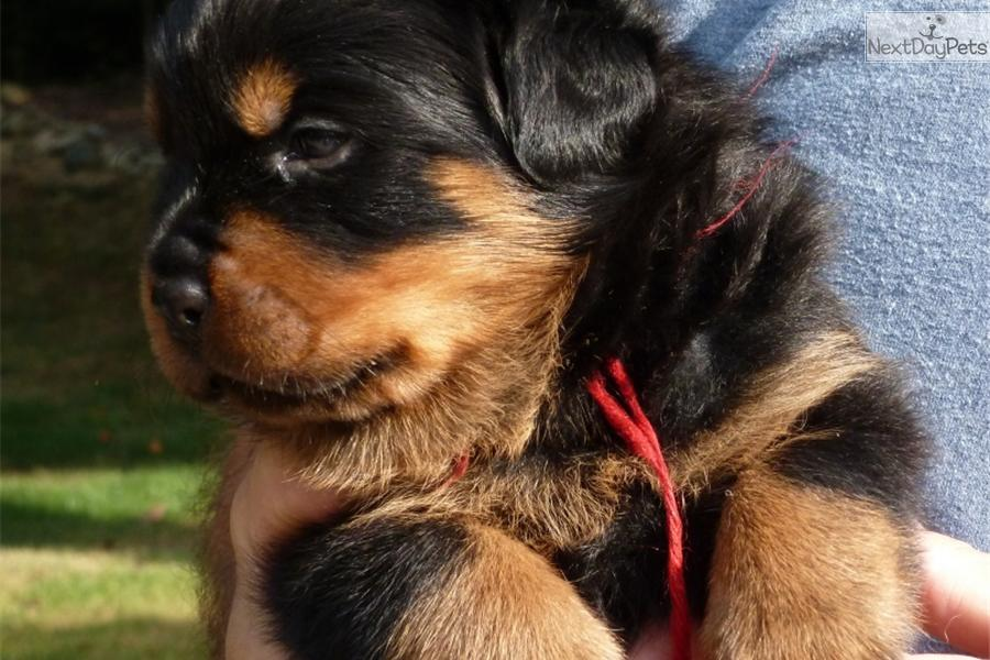 Rottweiler for sale for $1,000, near Raleigh / Durham / CH, North ...