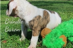 Picture of Brindle Baron