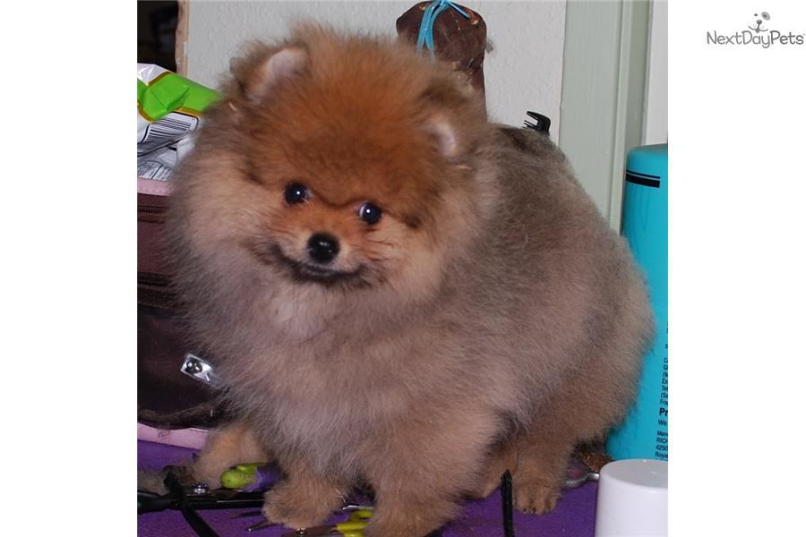 Pomeranian Dogs For Sale In Sacramento