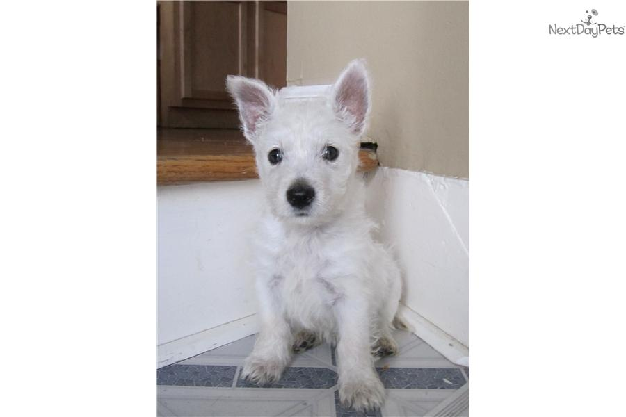 West Highland Terrier Puppies For Sale Near Alger Michigan