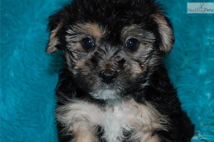 Adult yorkie poo picture absolutely not