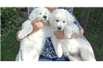 Kuvasz puppies available | Puppy at 6 weeks of age for sale