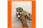 Alaskan Klee Kai for sale