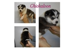Picture of Chickaloon