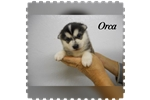 Picture of Orca