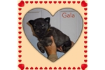 Picture of Gala