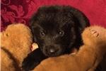 Picture of AKC German Shepherd Pups - HoneyBear&Teddy Bear M2