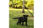 Picture of AKC German Shepherd Pups - Kizzy & Duke M