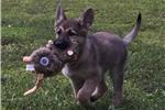 Picture of AKC German Shepherd Pups - Cleo & Hercules F2