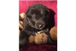 Picture of AKC German Shepherd Pups - HoneyBear&Teddy Bear M1