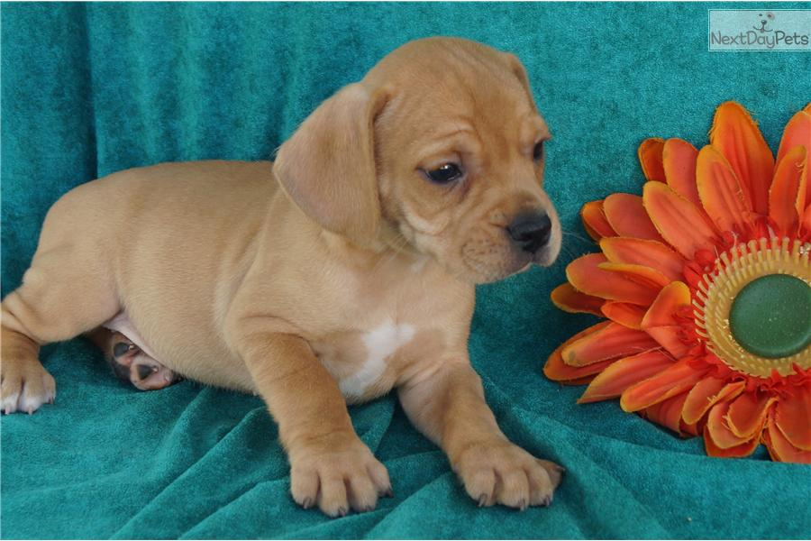 Beagle French Bulldog Mix