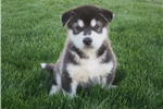 Alaskan Malamutes for sale