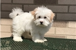 Coton De Tulears for sale