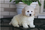 Picture of a Malti Poo - Maltipoo Puppy