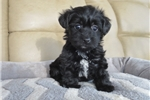 Gwen  | Puppy at 9 weeks of age for sale