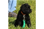 AKC Registered Porter A Puppy Culture PWD | Puppy at 14 weeks of age for sale