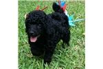 AKC Miniature Poodle puppies *NEW BABIES* | Puppy at Available soon of age for sale