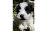 Picture of Teddy-AKC Havanese