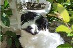 Picture of Ryder-AKC Havanese