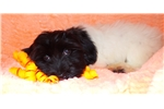 Picture of Lucie-AKC Havanese