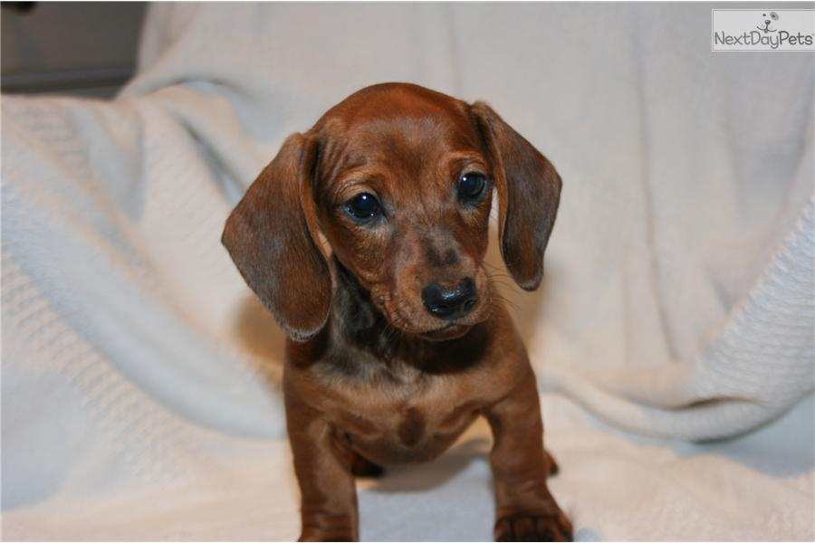 Meet Red A Cute Dachshund Smooth Puppy For Sale For 375 Red