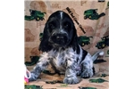 English Cocker Spaniel for sale