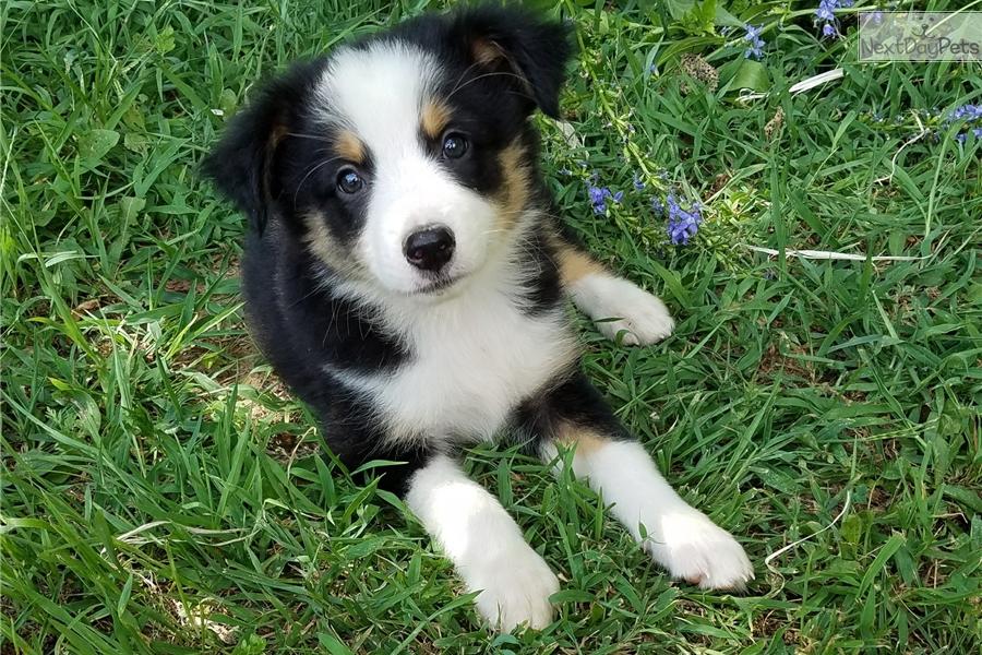 Panda: Miniature Australian Shepherd puppy for sale near ...