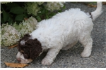 Picture of LAGOTTO ROMAGNOLO OF CANADA LRC - DUCKETT WORKING