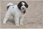 DCKLAGOTTO Z Litter DOB Apr - 2016- Reserve early | Puppy at 3 weeks of age for sale
