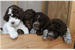 DCKLAGOTTO ANNA Litter DOB 01/2017- Reserve early | Puppy at Available soon of age for sale