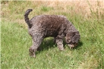 Picture of a Lagotto Romagnolo Puppy